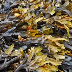 Alge Ascophyllum nosodum gemahlen getrocknet