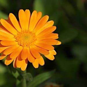 Ringelblume Blüten geschnitten – getrocknet