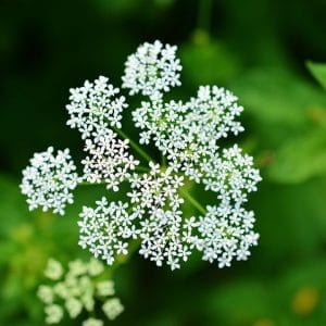 Schafgarbe für Pferde – Blüten gerebelt – getrocknet