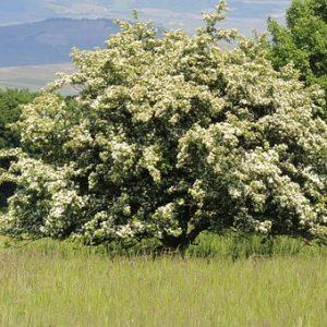 Weißdorn Blüten und Blätter geschnitten – getrocknet