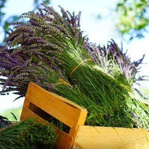 Lavendel für Pferde – blaulila ganz – getrocknet