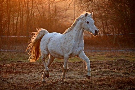Pferd galoppiert im Freigehege