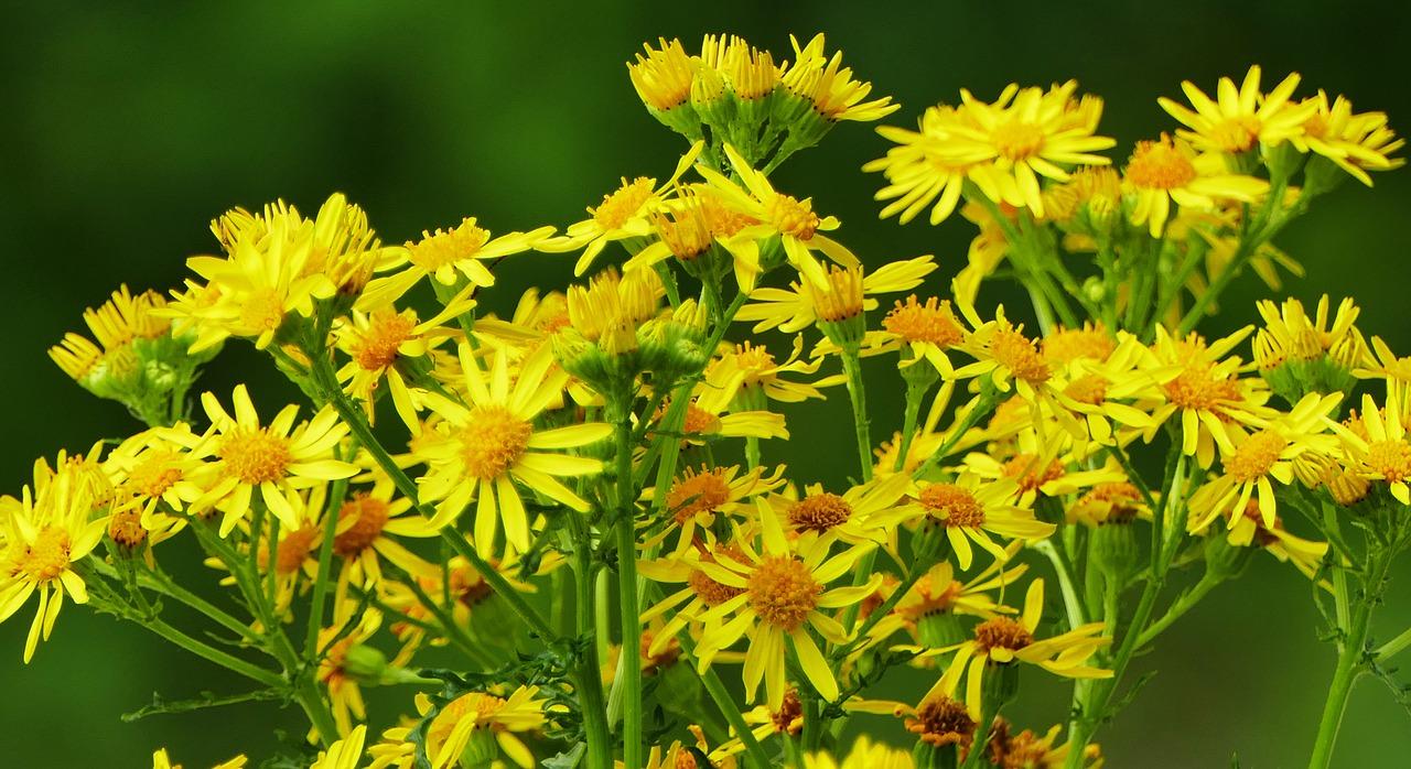 Giftpflanzen: Jakobskreuzkraut